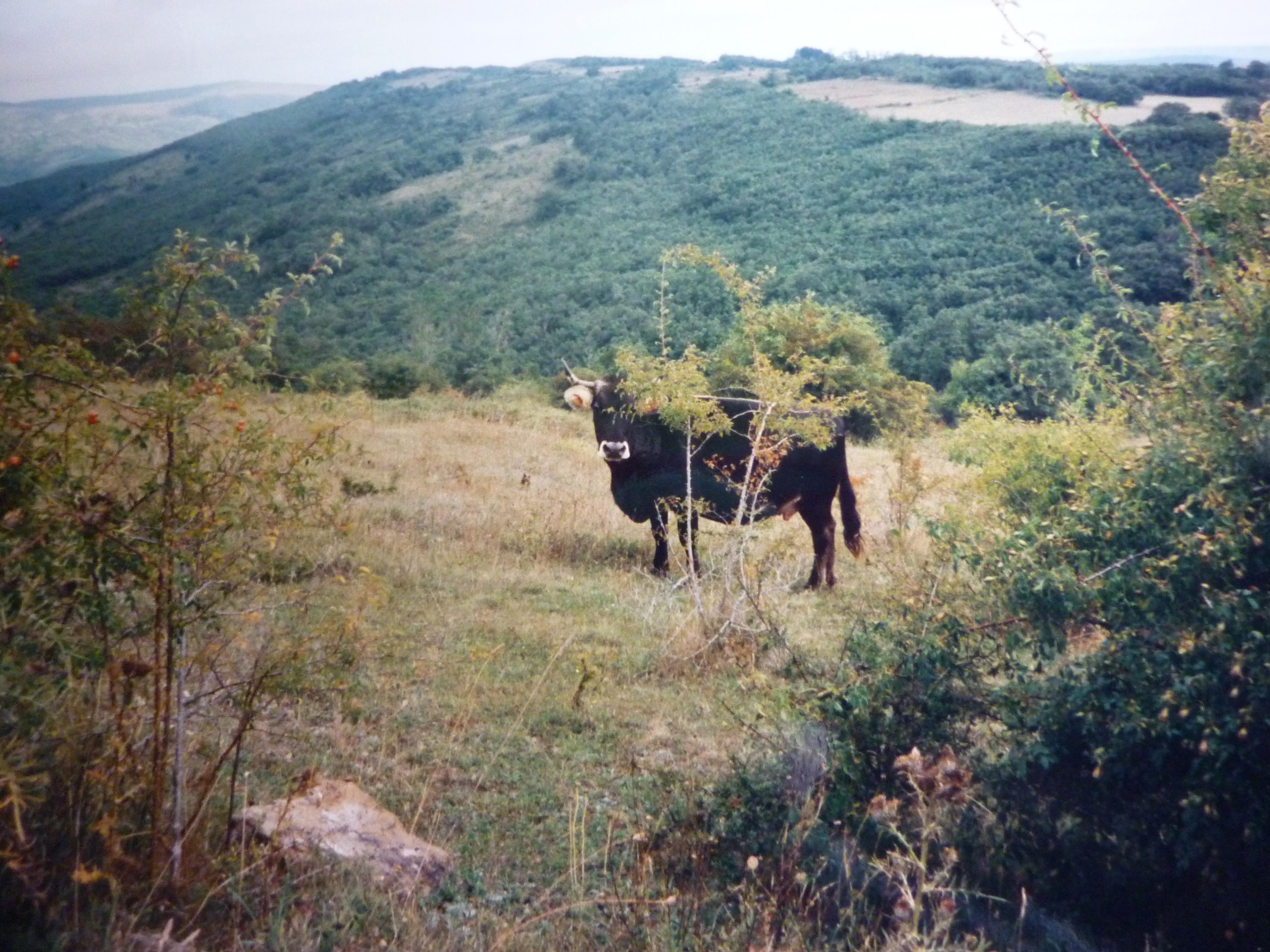 https://navamuel.es/images/Animales/Vaca.jpg